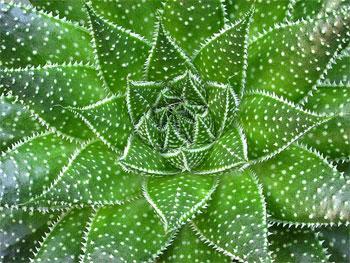 Алоэ - цветущее растение